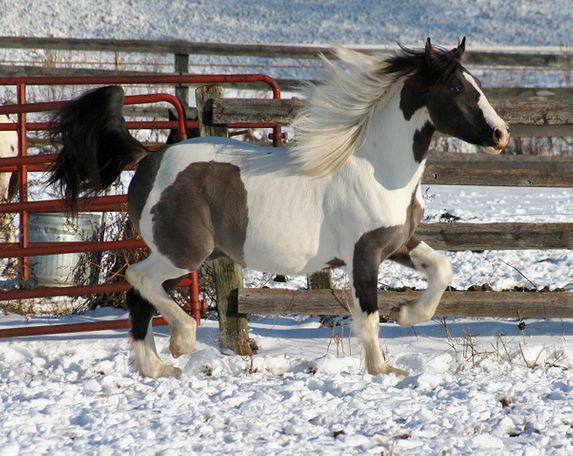 Grulla Friesian Cross in Randolph, MN