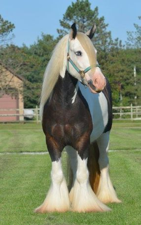 Other Gypsy Vanner in Whitehouse, OH