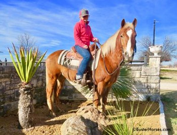 Palomino Haflinger in Weatherford, TX