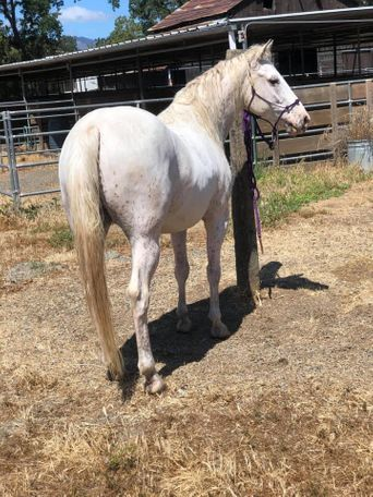 White Quarter Horse in Brentwood, CA