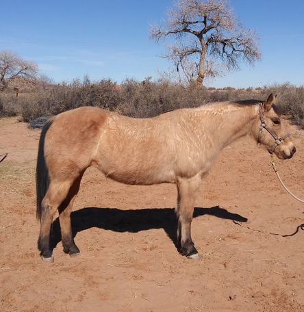 Buckskin Quarter Horse in Los Lunas, NM