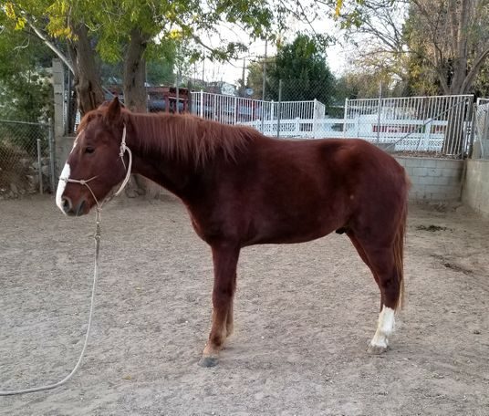 Chestnut Tennessee Walker in Sunland, CA
