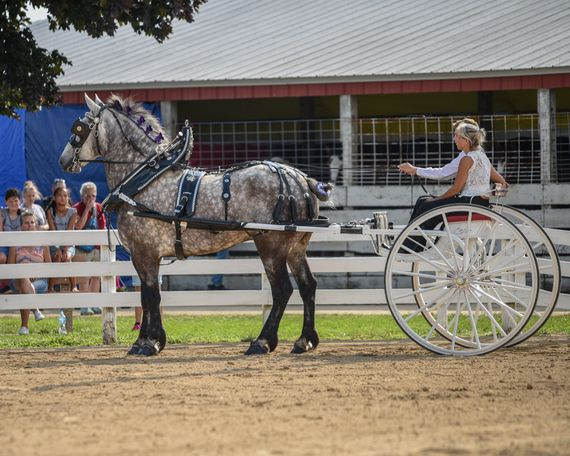 Grey Percheron in Fond du Lac, WI