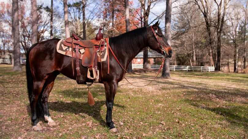 Bay Quarter Horse in Concord, NC