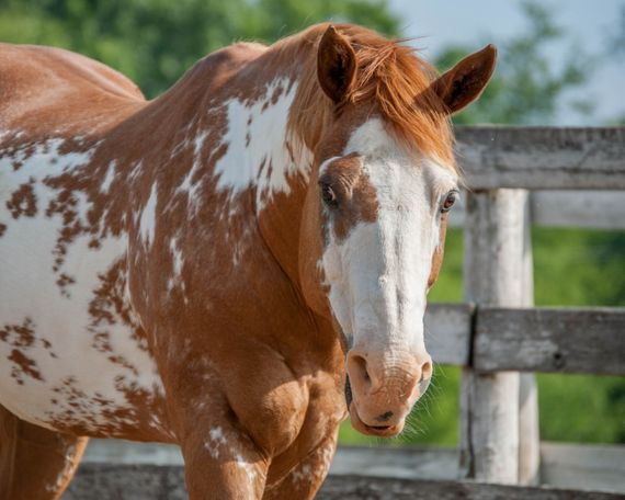 Chestnut Paint (Tobiano) in Woodstock, IL