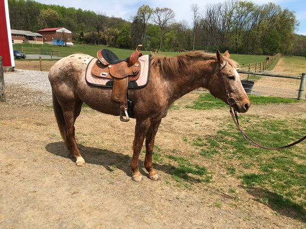 Sorrel Appaloosa in oley, PA
