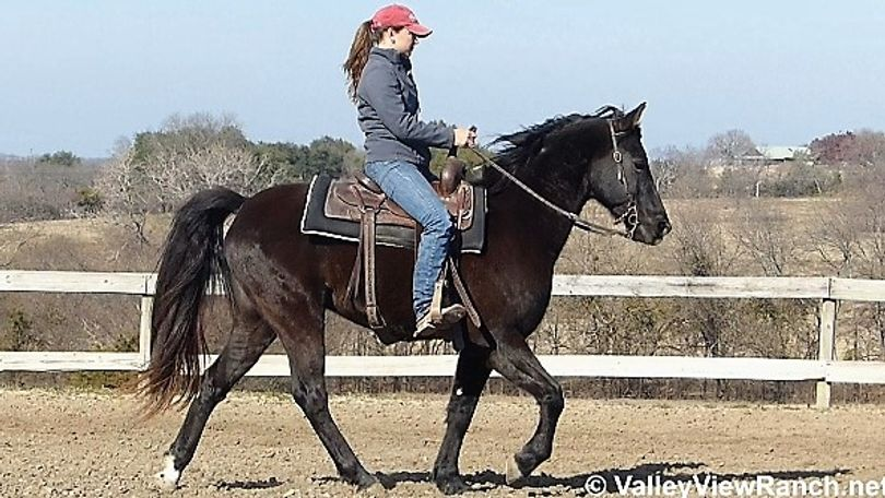 Black Missouri Fox Trotting Horse in Dallas, TX