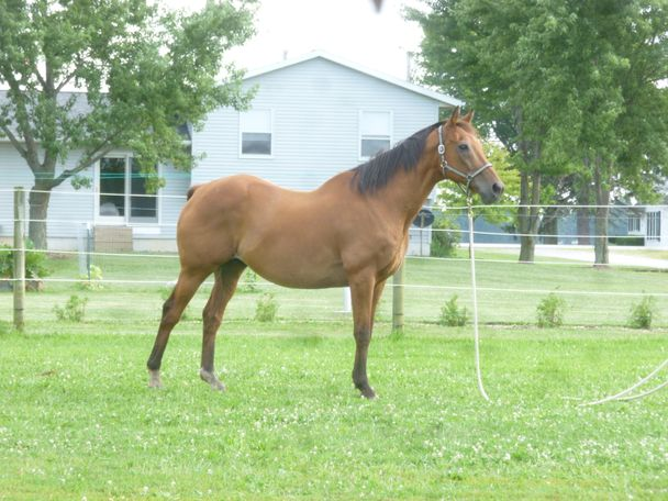 Chestnut Thoroughbred in Bowling Green, OH