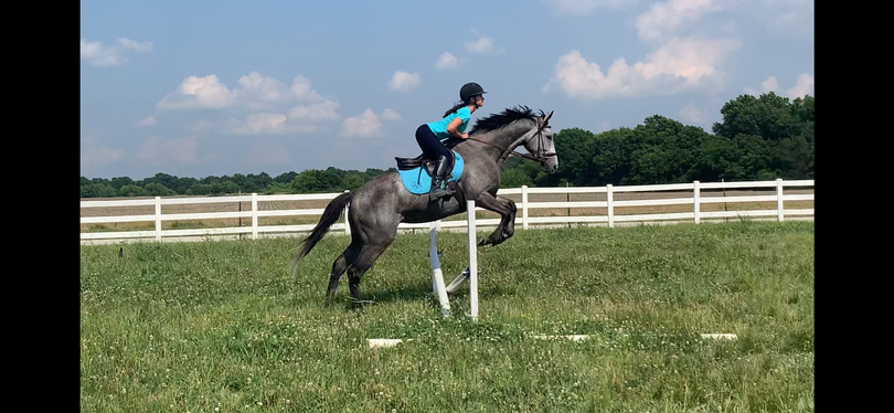 Grey Thoroughbred in Lamar, MO
