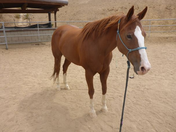 Chestnut Quarter Horse in Acton, CA