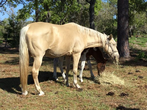 Palomino Tennessee Walker in Lecanto, FL