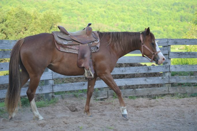 Chestnut Quarter Horse in Plymouth, NY
